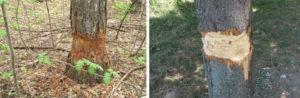снятие коры дерева