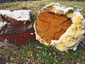 Домовой гриб образующий белую гниль