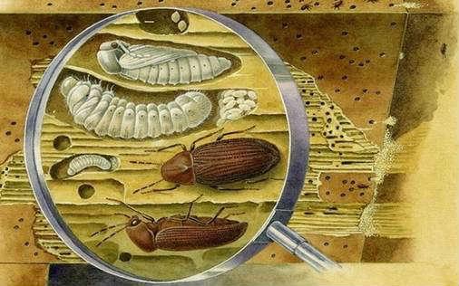 жуки и личинки разрушающие древесину