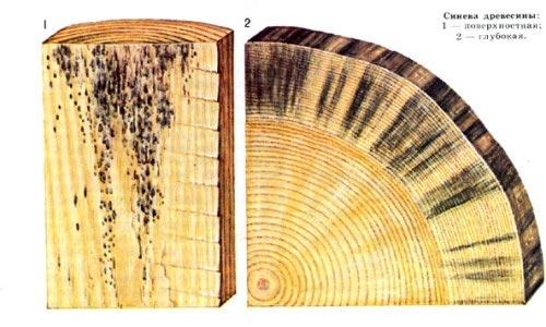 древесная синева:виды
